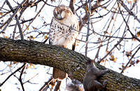Red-tailed Hawk and Squirrel 5