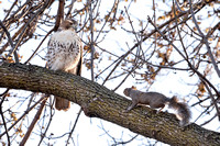 Red-tailed Hawk and Squirrel 7