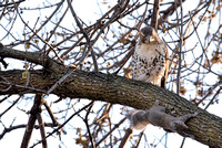 Red-tailed Hawk and Squirrel 3