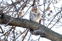 Red-tailed Hawk & Squirrel 2