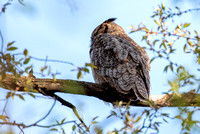 Great-horned Owl Sleeping Adult