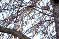 Red-tailed Hawk and Squirrel 1