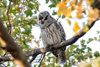 Polk St. Barred Owl 5
