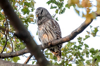 Polk St. Barred Owl 9